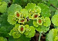 Chrysosplenium alternifolium kz09.jpg