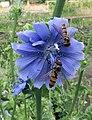 Cichorium endivia flower (2).jpg