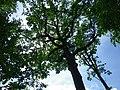 Cime du chêne de l'étoile.jpg
