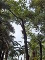 Cinnamomum camphora003.jpg