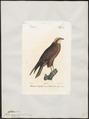 Circus aeruginosus - 1842-1848 - Print - Iconographia Zoologica - Special Collections University of Amsterdam - UBA01 IZ18300177.tif