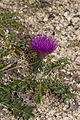 Cirsium acaule coteau-chezy-sur-marne 02 03082007 2.jpg