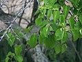 Cissus verticillata 2.jpg
