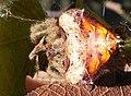 Cladomelea debeeri Bolas spider full body.jpg