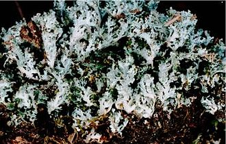 Cladonia - Image: Cladonia caespiticia (EU)