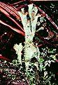 Cladonia grayi-3.jpg