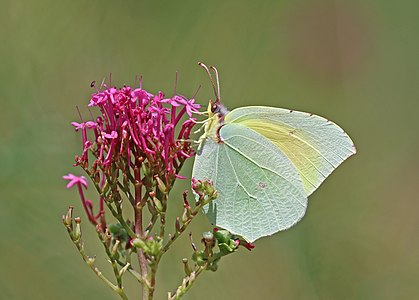 Common brimstone (Gonepteryx rhamni) male on red valerian (Centranthus ruber), Paestum, Italy