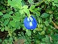 Clitoria ternatea Flower 1.JPG