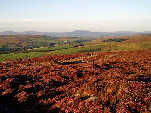 Scenery in the Forest of Bowland Clougha heather.jpg
