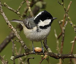 Adult British Coal Tit, P. a. britannicus (note greenish-grey back)