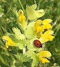 Coccinella septempunctata an zottigem Klappertopf IMG 4070.jpg