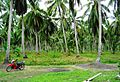 Coconut trees (11).JPG