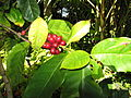 Coffea arabica-fruit and leaves-Enchanting Floral Gardens of Kula-Maui.jpg