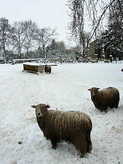 Cold Feet Sheep.jpg