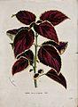 Coleus plant (Solenostemon scutellarioides); leafy stem. Chr Wellcome V0044413.jpg
