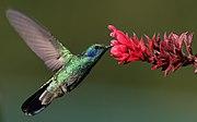 Colibri-thalassinus-001.jpg