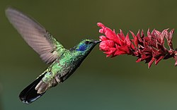 Hummingbird at a flower.