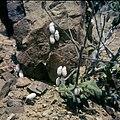Collectie Nationaal Museum van Wereldculturen TM-20029892 Landslakken Curacao Boy Lawson (Fotograaf).jpg