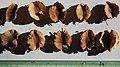 Combretum hereroense seeds, by Omar Hoftun.jpg