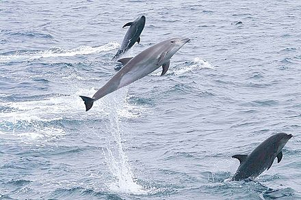 Bottlenose dolphins jumping off the islands Common Bottlenose Dolphin (Tursiops truncatus) - Galapagos (2225816313).jpg