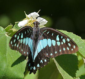 Common Jay (Graphium doson) on Singapur Cherry (Muntingia calabura) W IMG 9602.jpg