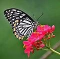 Common Mime - Papilio clytia (dissimilis form) on Jatropha panduraefolia in Kolkata Iws IMG 0217.jpg
