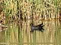 Common Moorhen (Gallinula chloropus) (26589669864).jpg
