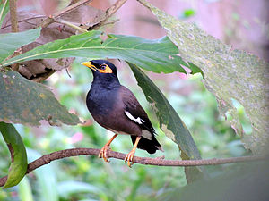 Myna - Common mynah on a tree. Kollam, Kerala, India.