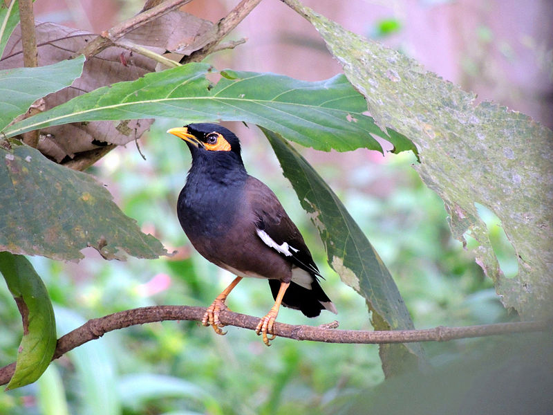 [Image: 800px-Common_Mynah_on_a_tree..jpg]