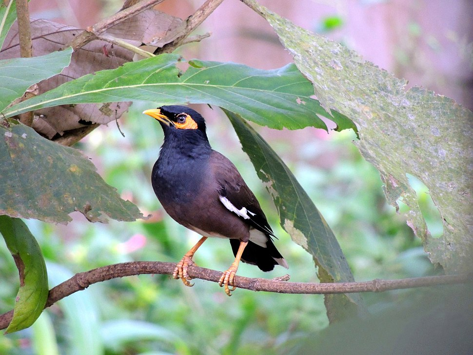 Common Mynah on a tree.