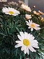 Common daisy - Bellis pernnis.jpg