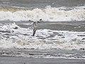 Common or White-cheeked Tern (15087520587).jpg