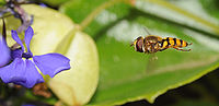 ComputerHotline - Syrphidae sp. (by) (2).jpg