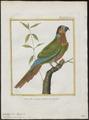 Conurus pictus - 1700-1880 - Print - Iconographia Zoologica - Special Collections University of Amsterdam - UBA01 IZ18500183.tif
