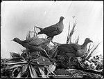 Coot or Water Hens (4903834018).jpg