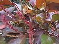Copper Leaf Plant - പൂച്ചവാൽ 01.JPG