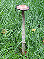 Coprinus comatus, 11th October.jpg