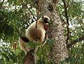 Coquerl's Sifaka. Propithecus verreauxi coquerli - Flickr - gailhampshire.jpg