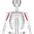 Coracobrachialis muscle11.png