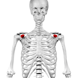 coracoid process - wikipedia, Sphenoid