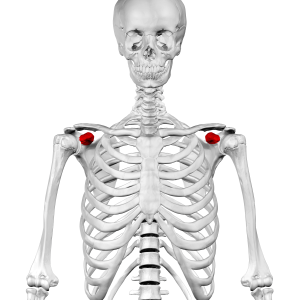Coracoid process - Anterior view. Coracoid process shown in red.
