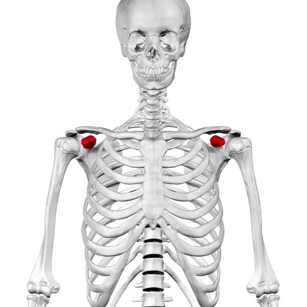 File:Coracoid process of scapula01.png