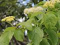 Cornus alternifolia 5473422.jpg