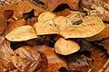 Cortinarius.balaustinus.-.lindsey.jpg
