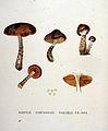 Cortinarius — Flora Batava — Volume v19.jpg
