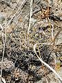 Coryphantha cornifera (5760807823).jpg