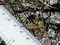 Coryphantha retusa (5736104565).jpg