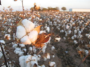 Stamford, Texas - Image: Cotton field kv 15
