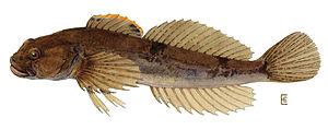 Cottidae - Cottus cognatus