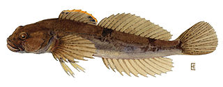 Cottidae family of fishes